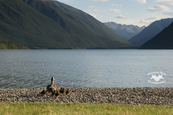 Ducklings at Lake Rotoiti